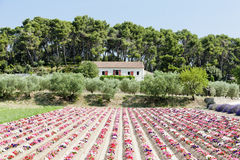 Flower field, Provence Royalty Free Stock Images