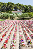 Flower field, Provence Stock Images