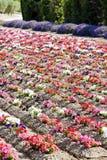 Flower field, Provence Stock Photo