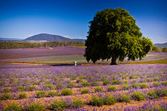 Flower field. Purple flower field nature with big tree in a landscape image Royalty Free Stock Photography