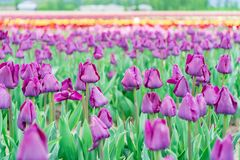 Flower field of purple tulips blooming. Triumph tulip field, on a tulip farm. Foreground focus, with blurry colourful flowers in. The background stock photos