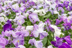 Flower field of purple violets Stock Photography