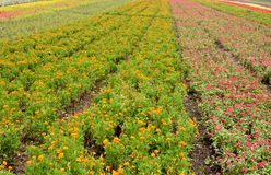 Flower field in radiation line. Flower field in various colors pattern in radiation line, shown as nature environment and spring growing season Royalty Free Stock Photo
