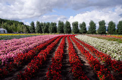 Flower field. Red pink and white flower field in Tomita farm,Japan Stock Photo
