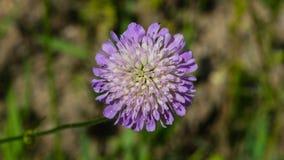 Flower of Field Scabious, Knautia Arvensis, with bokeh background macro, selective focus, shallow DOF.  stock photo