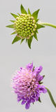 Flower. The Field Scabious (Knautia arvensis). A very common field flower royalty free stock photo