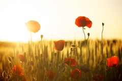 Flower, Field, Sky, Poppy Royalty Free Stock Images