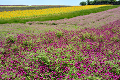 Flower field and sky. Flower field in various colors pattern, shown as good nature environment and spring growing season Royalty Free Stock Photography