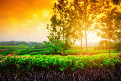 Flower field at the sunrise Royalty Free Stock Image