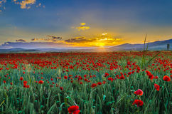 Flower field at sunset Stock Images