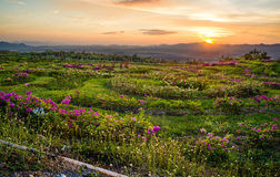 Flower field and sunset behind the mountains Stock Photography