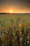 Flower field. Before sunset Stock Image
