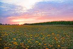 Flower field at sunset. Stock Photography