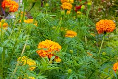 Flower field, there is a huge open flowers marigolds and only bu stock photos