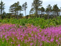 Flower field and trees Stock Image