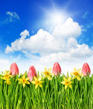 Flower field, tulips and narcissus, green grass Stock Photography