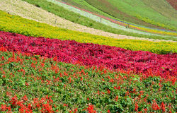 Flower field Royalty Free Stock Photos