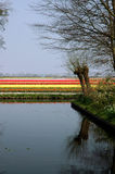 Flower field and water. Flower field, water and two typical Dutch pollarded willows Stock Images