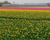 Flower field of yellow and pink tulips at Lisse, Netherlands. Yellow and pink tulips growing in stripes in a flower field near Lisse, South Holland. Greenhouses stock photography