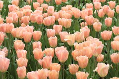 Flower field of yellowish pink tulips in spring Royalty Free Stock Image