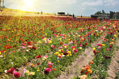 Flower fields Stock Images