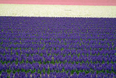 Flower fields - Bollenstreek Royalty Free Stock Photo
