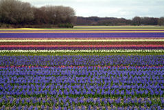 Flower fields - Bollenstreek Stock Images