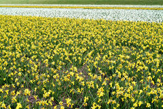 Flower fields - Bollenstreek Royalty Free Stock Photography