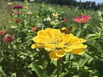Flower fields and butterflies go together Stock Image