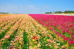 The Flower Fields of Carlsbad royalty free stock photos