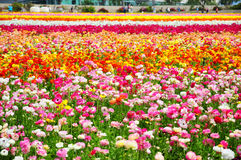 The Flower Fields of Carlsbad Stock Photography