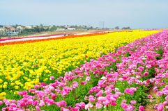 The Flower Fields of Carlsbad Royalty Free Stock Image