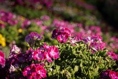 Flower fields in Carlsbad Royalty Free Stock Images