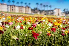 Flower fields in Carlsbad Stock Image