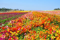 The Flower Fields of Carlsbad Stock Photos