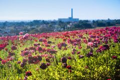 Flower fields in Carlsbad Royalty Free Stock Photo