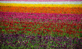 Flower Fields Stock Photography
