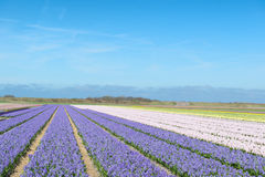 Flower fields with colorful hyacinths Royalty Free Stock Photos