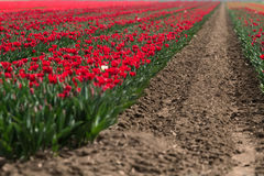 Flower fields / farms in Holland Royalty Free Stock Images