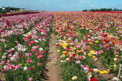 Flower fields Royalty Free Stock Image