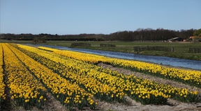 Flower fields in Holland Royalty Free Stock Photo