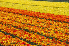 Flower Fields Holland royalty free stock image