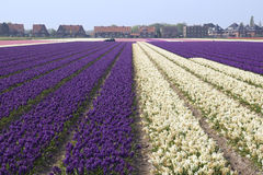 Flower Fields Holland Stock Images