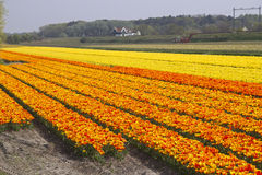 Flower Fields Holland Royalty Free Stock Photo