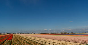 Flower fields in holland Royalty Free Stock Photos