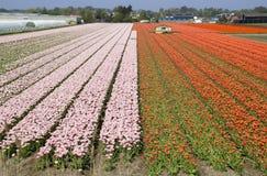 Flower Fields Holland Stock Photos