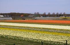 Flower fields in Holland Stock Image