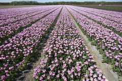 Flower fields in Holland Stock Photos