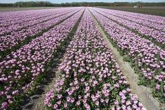 Flower fields in Holland Stock Photos