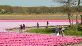 Flower fields in Holland stock video